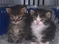 Sibirske mačke i mačići za prodaju