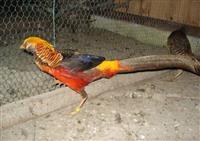 Ukrasni fazani