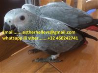 Afrički sivi papige